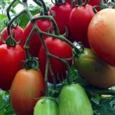 百井のトマト